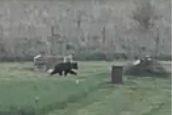 Медведя сняли в деревне Тутаевского района