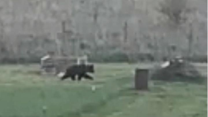 «Бежит по нашей гряде»: в Ярославской области медведь пришёл в огород
