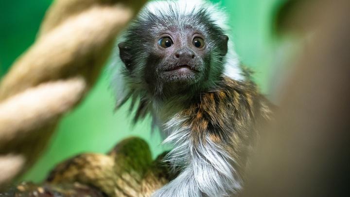 Ездит на шее родителей: у пары смешных обезьянок в зоопарке родился второй малыш
