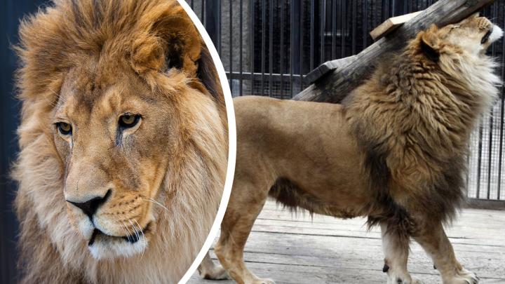 В «Роевом ручье» умер лев Генрих — один из старейших жителей зоопарка