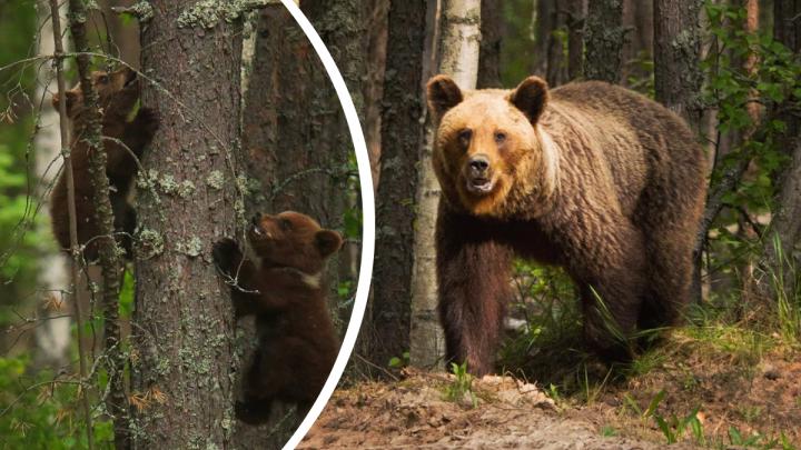Видео дня. Нижегородец случайно наткнулся на медведицу с детёнышами около дороги