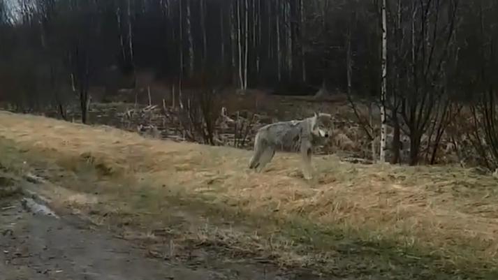 Хищник из Талаг: под Архангельском засняли на видео волка