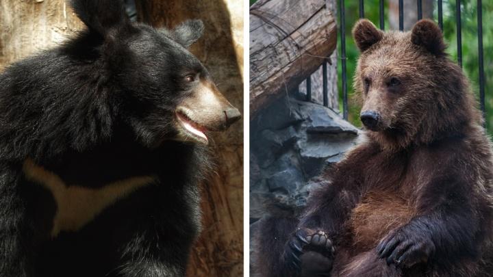 Новосибирский зоопарк спрятал от посетителей гималайских медведей — рассказываем почему