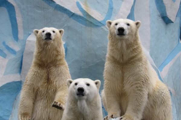 Медвежата-близняшки стали такими же большими, как и их мама