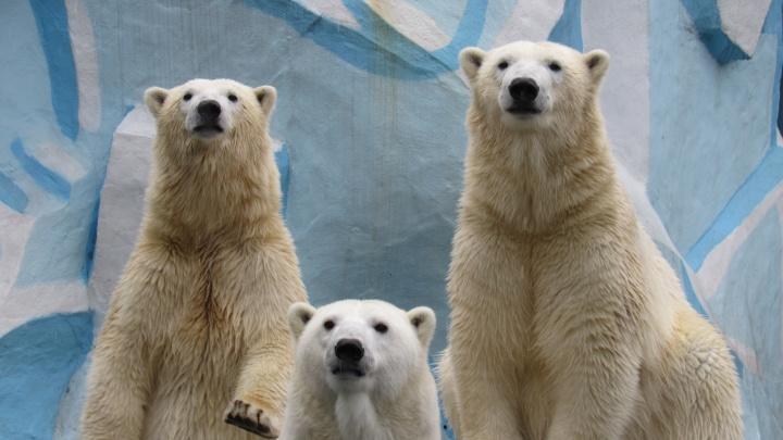 Белые медведи-двойняшки повзрослели в зоопарке — теперь их сложно отличить от мамы
