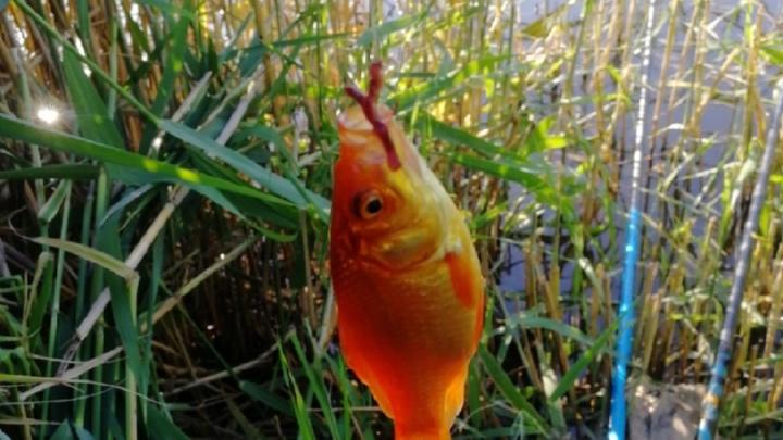Загадывать желание не пробовал: волгоградец выловил в пруду золотую рыбку