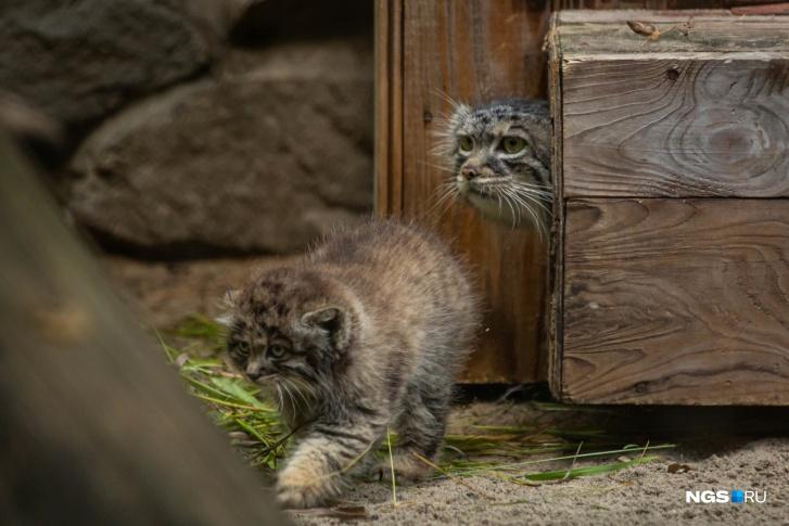 При рождении котята весят около 100 граммов
