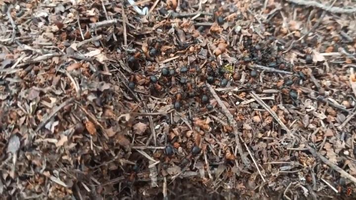 «Непредсказуемая весна будет»: в ярославских лесах раньше срока проснулись муравьи