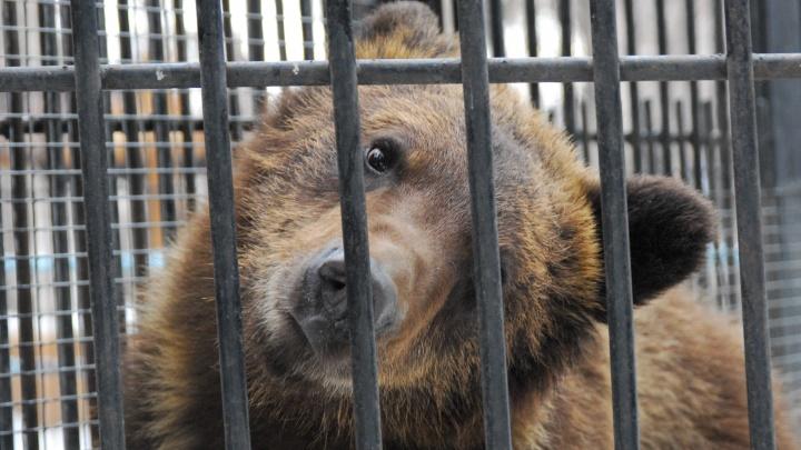 В Кузбассе медведь напал на домашний скот. Несколько телят пропали
