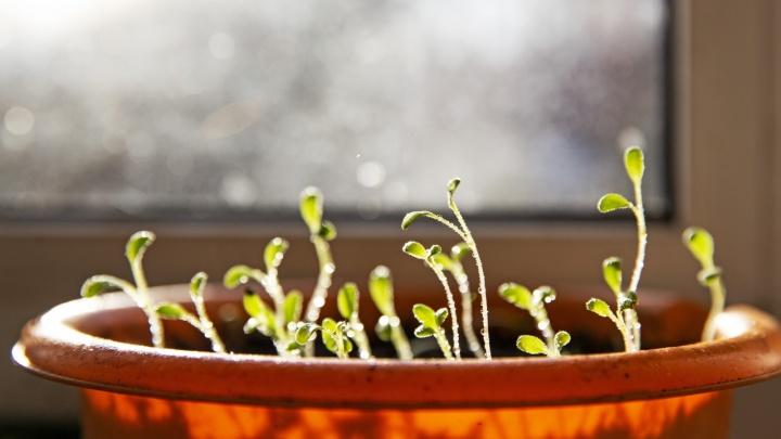 Милый, ужин на подоконнике: как вырастить руколу, лемонграсс и микрозелень у себя дома