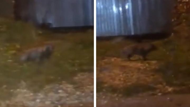«Дерется с местными кошками»: под Екатеринбургом енотовидная собака терроризирует жителей