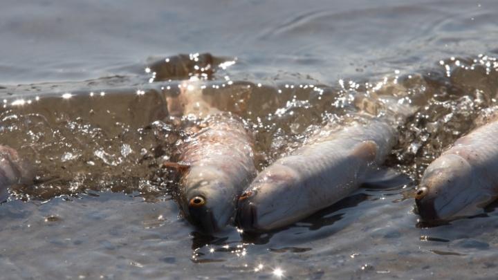 Власти назвали точную причину массовой гибели рыбы в Дону