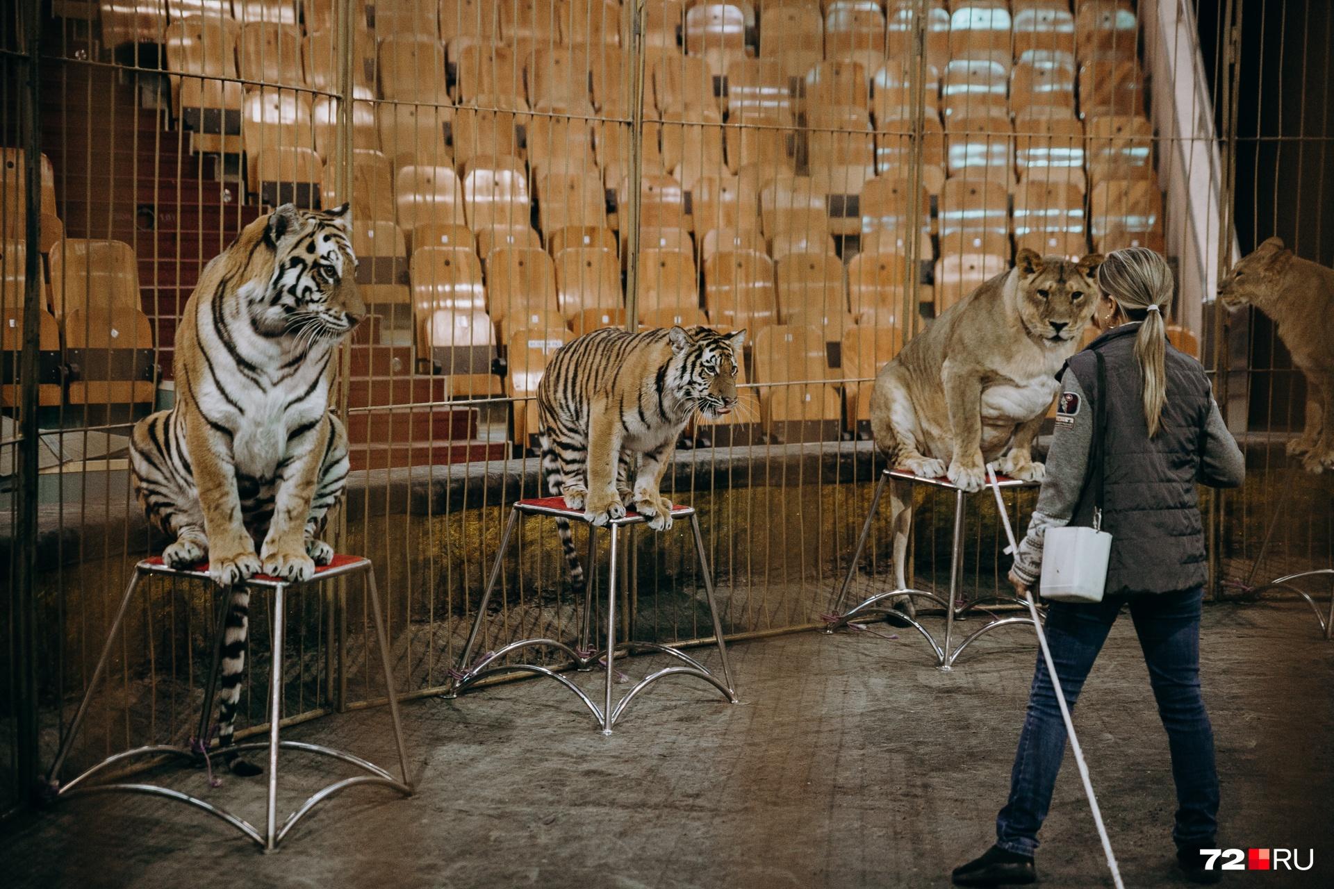 Каждый тигр и лев знает, где его стульчик, и после выполнения трюка направляется сразу к нему