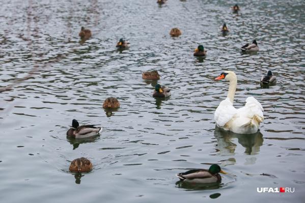 ОзероТеплоев Инорсе стало местом обитания дикихуток, где они остаются на всю зиму