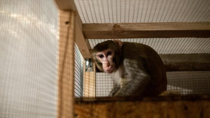 Челябинский зоозащитник Карен Даллакян приютил обезьяну, от которой отказались дрессировщики