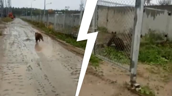 «Беги, малыш, беги!» В Демьянке сняли на видео маленького испуганного медвежонка