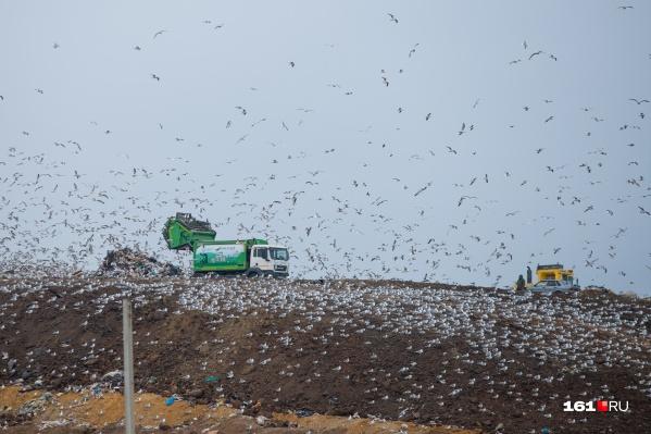 Чайки облюбовали площадку временного накопления