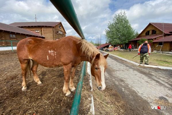 В конюшнях остаются 12 лошадей, пони и два ослика