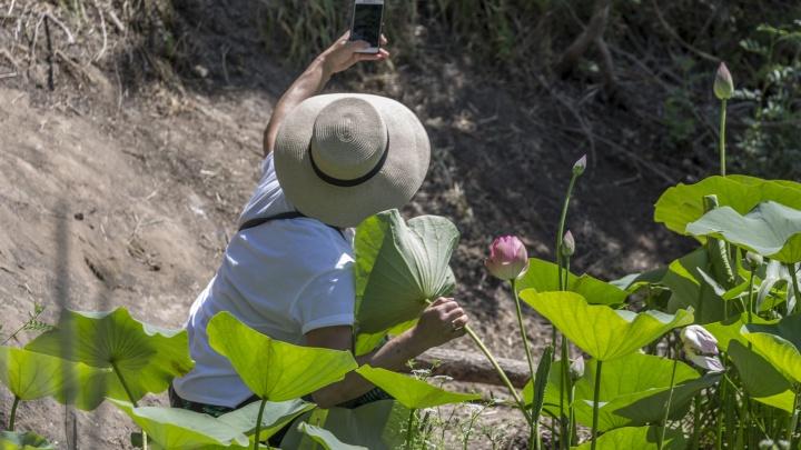 «Там водятся водяные ядовитые змеи»: под Волгоградом уничтожают озеро лотосов
