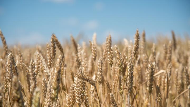 Индийская компания решила вложить 350 миллионов долларов в производство нута и пшеницы на Дону