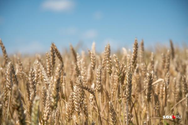 Пшеницу будут использовать для получения специальной аминокислоты