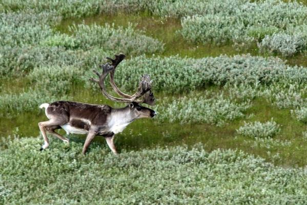Едва достигнув северной оконечности гор Бырранга, олени разворачиваются и идут в обратном направлении