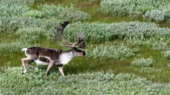 На Таймыре стартовала экспедиция по изучению дикого северного оленя