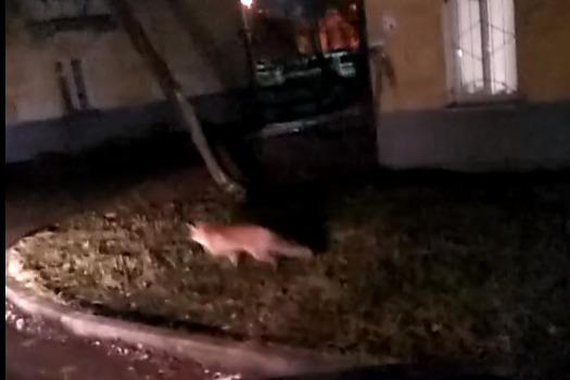 В Ярославль забежала лиса. И попала на камеру