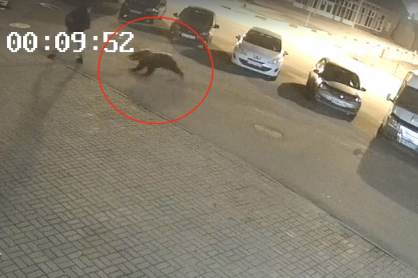 Медведь напал на человека в Дзержинском районе Ярославля