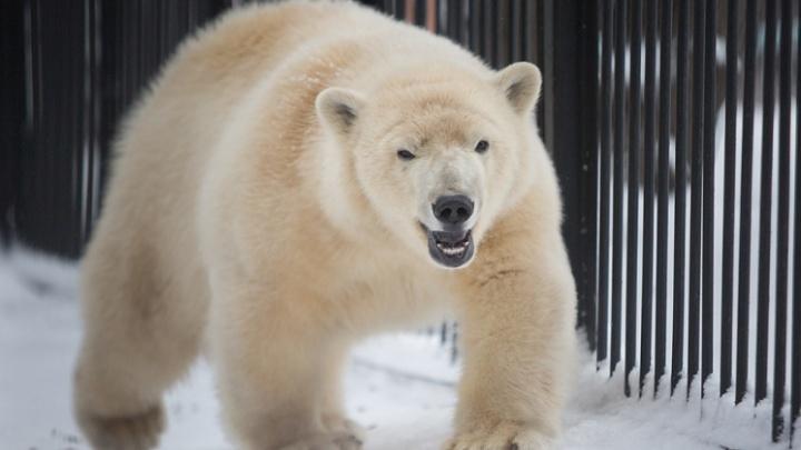«Всё у нее хорошо»: в японском зоопарке ждут потомства от новосибирской медведицы Шилки