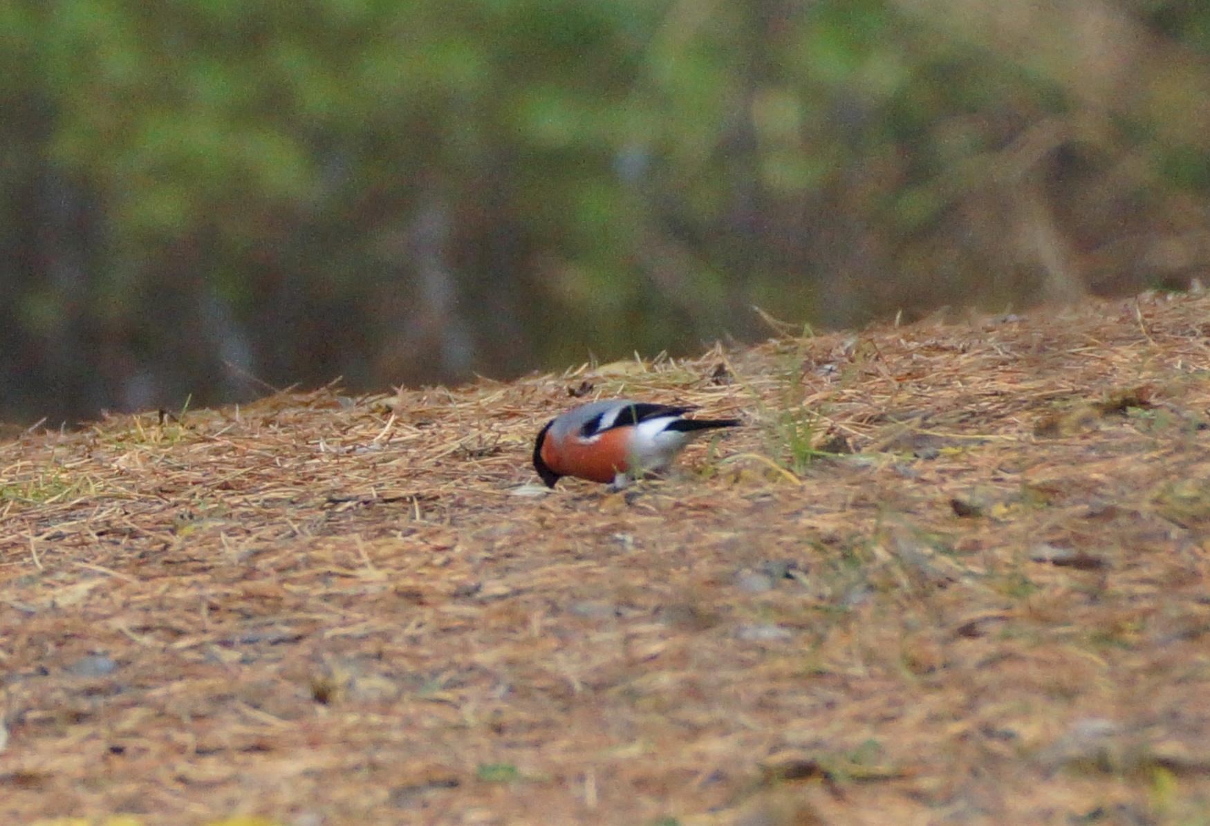 Птицы активно кормятся опавшими плодами деревьев
