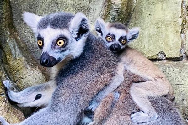 Один из детенышей «ездит» на спине, второй предпочитает сидеть под животом мамы