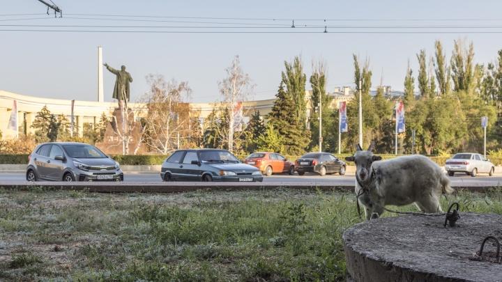 В центре Волгограда площадь Ленина превратили в пастбище для козла