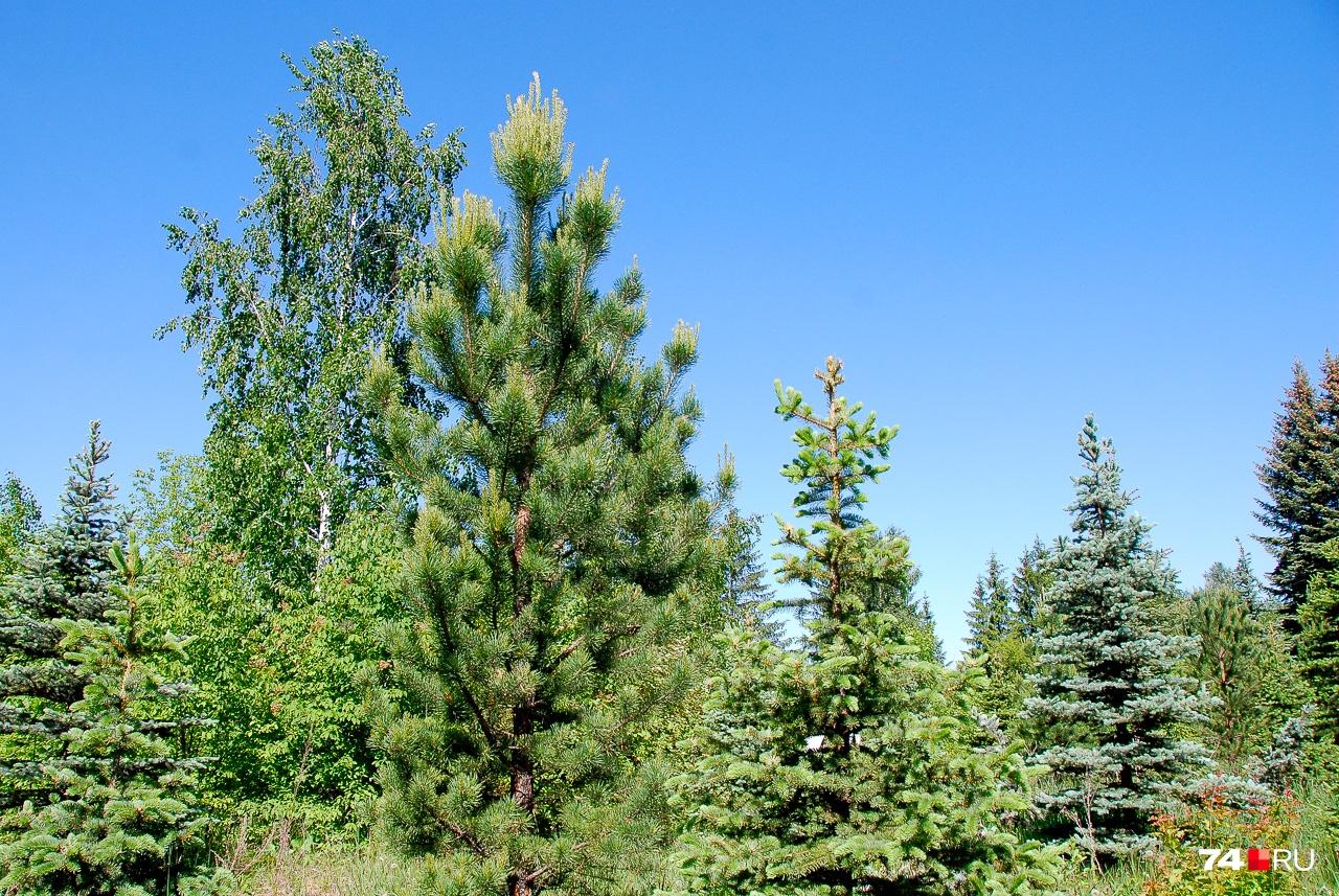Степень прироста сосны хорошо видна по светло-зелёным побегам на концах веток. За год сосна может добавлять до трети метра