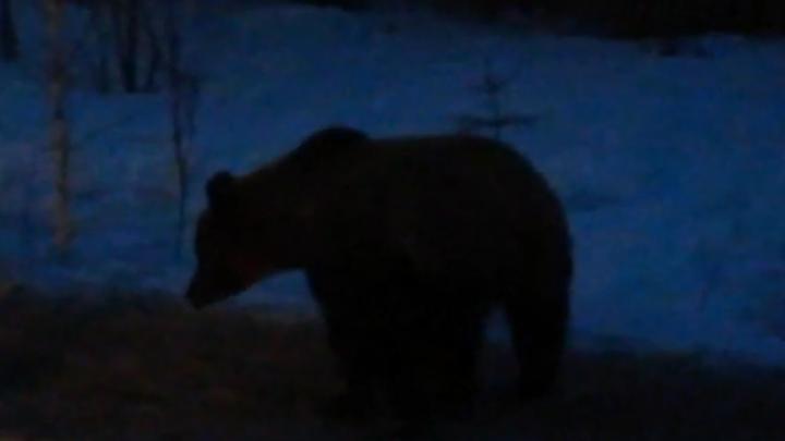 «Куда погнал, косолапый?»: читатель 29.RU встретил медвежонка у дороги — видео