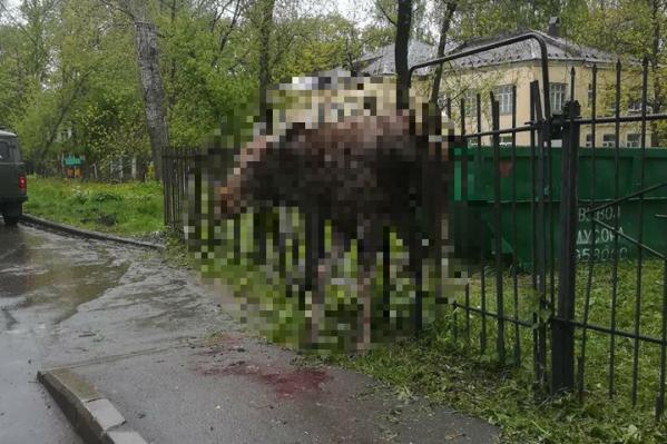 Лось погиб на заборе