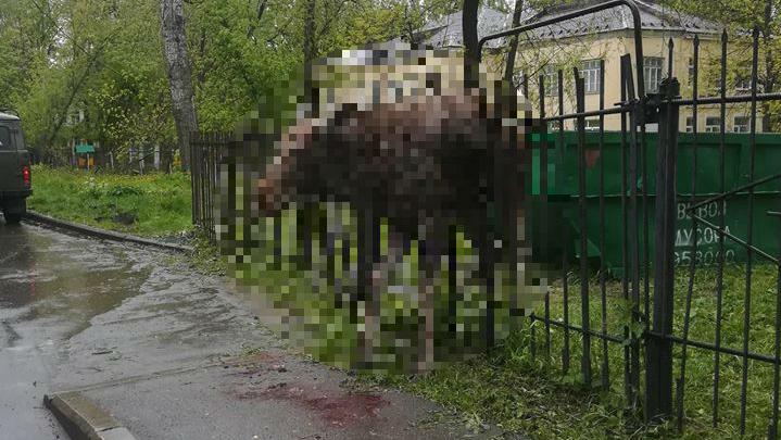 В Ярославле лось напоролся на острый забор в детском садике