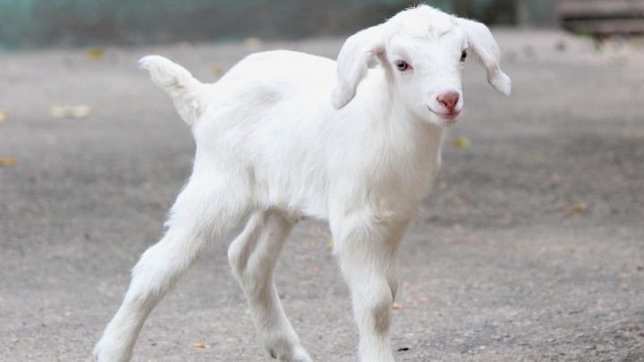 В «Лимпопо» пополнение: смотрим фотографии новорожденных козлят