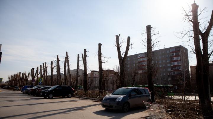 Варварская обрезка: на 50 лет Октября тополя оставили без крон