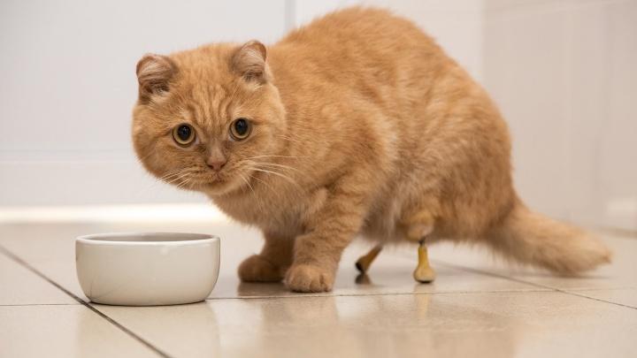 Ледышки вместо лап: в Самаре кота поставили на титановые протезы