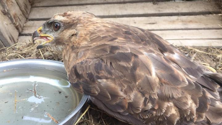 В Нижегородской области канюк выжил после смертельного удара током