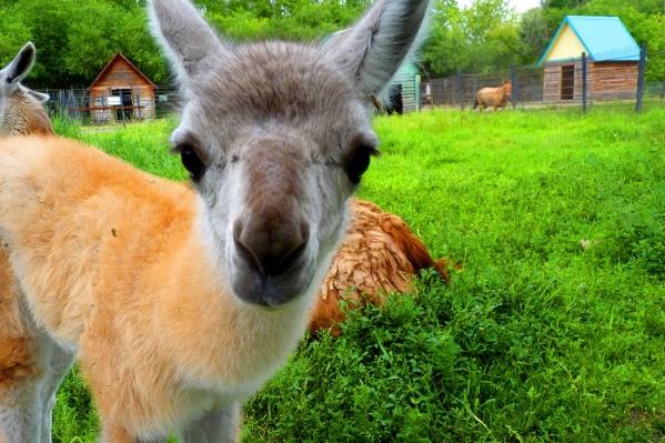 Постояльцы Большереченского зоопарка ждали встречи с омичами с конца марта