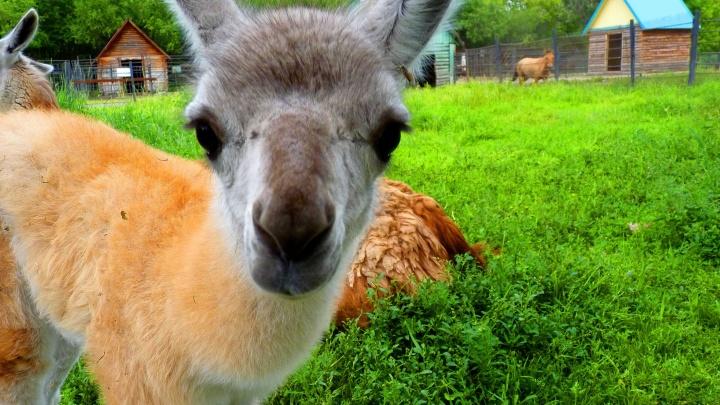 Оперштаб разрешил открыть Большереченский зоопарк