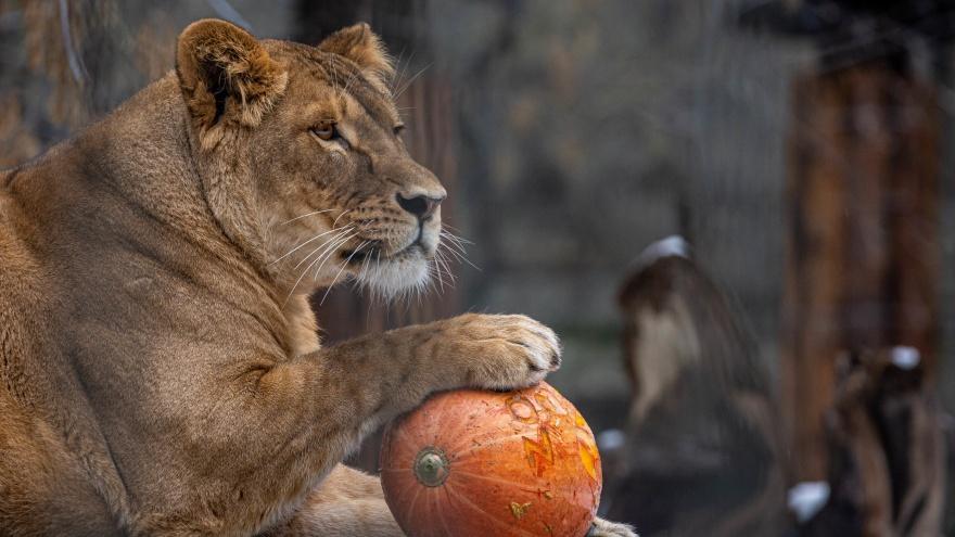 Львы в новосибирском зоопарке отказались отмечать Хеллоуин (фоторепортаж)