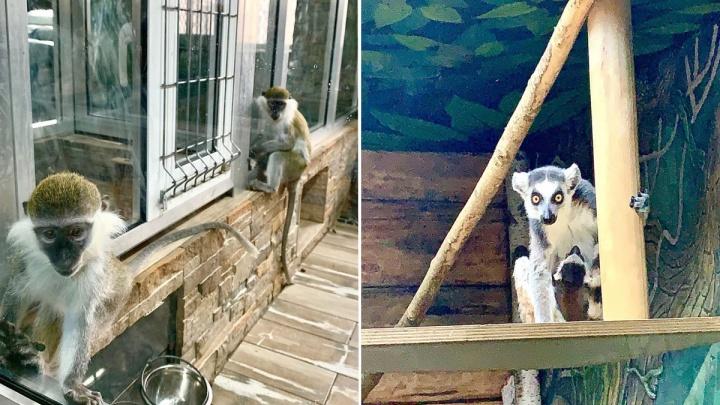 Тюменский зоопитомник не может прокормить 200 животных во время пандемии коронавируса
