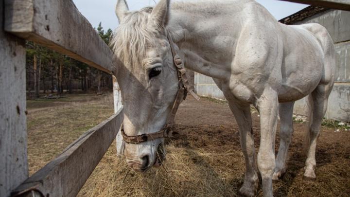 Челябинскому конному клубу, оставшемуся без денег из-за пандемии коронавируса, привезли 3 тонны сена