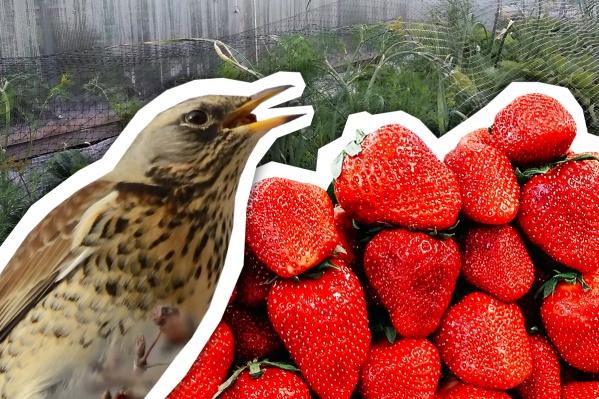 На тюменских дачах поспевает клубника, ее караулят стаи птиц, которым тоже хочется вкусняшек