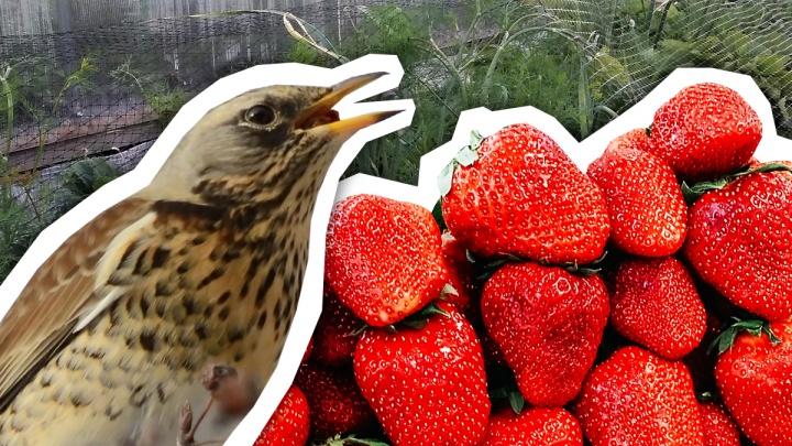 Кто пожирает клубнику на вашей даче? В разгар сезона тюменцы рискуют остаться без ягод
