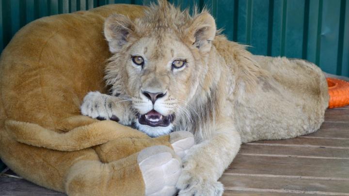 Издевательства над львёнком Симбой, спасённым челябинским зоозащитником, переросли в уголовное дело