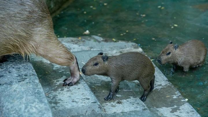 В Ростовском зоопарке родились самые большие грызуны в мире. Смотрим на малышню